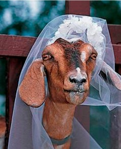 goat marriage